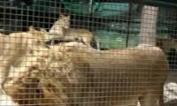 Pies w klatce z lwami - Thug Life