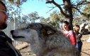 Niespodziewany atak wilka