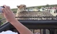 Gepard z bardzo bliska