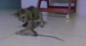 Mysz vs kot - walka