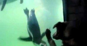 Pies chce się bawić z pingwinem