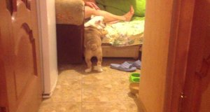 Buldog wtarabania się do łóżka