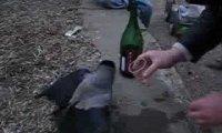 Rosyjski kruk pije wino