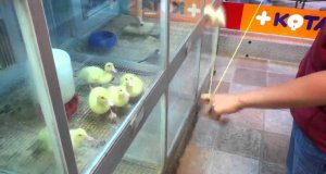 Zapatrzone kaczki
