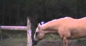 Krowa ściga człowieka