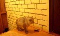 Naucz kota dzwonić do drzwi