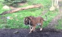 Tygrysie związki