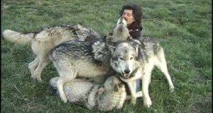 Stado wilków otoczyło fotografa