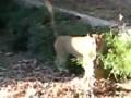 Ucieczka przed lwem w ZOO