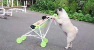 Mops pcha wózek