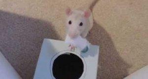 Szczurki też da się wytresować