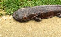 Wielka salamandra z rzeki Kamo w Kioto