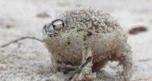 Bardzo dziwne dźwięki bardzo dziwnej żaby