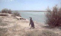 Zdziwiony pingwin
