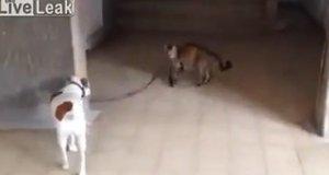 Kot prowadzi psa na smyczy