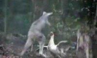 Kaczka vs kangur