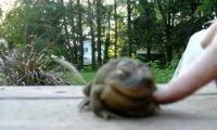 Urocza żaba