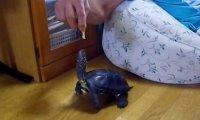 Prawie jak Żółw Ninja