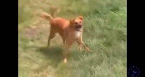 Bansujący pies
