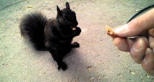 Przyjazna czarna wiewiórka