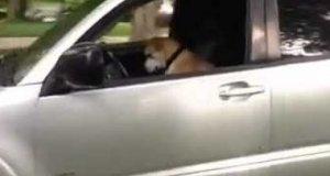 Pies kradnie właścicielowi samochód
