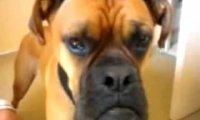 Pies na sygnale