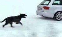 Pies vs Audi