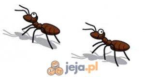 Klikacz: Mrówki