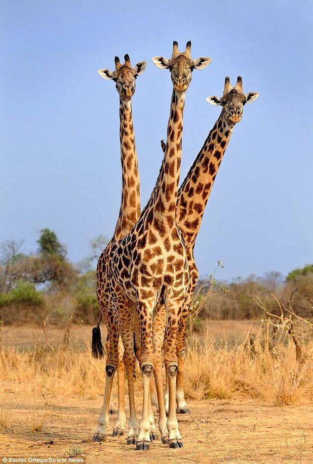 Zdjęcie użytkownika cristofer6 w temacie Zdjęcia wydr, kotów, fretek oraz żyraf