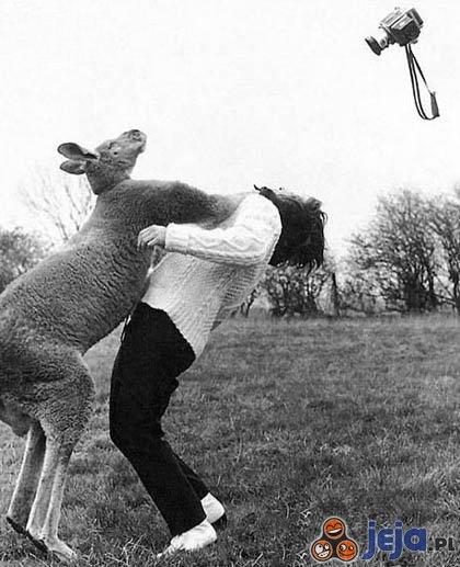 Kangur bokser