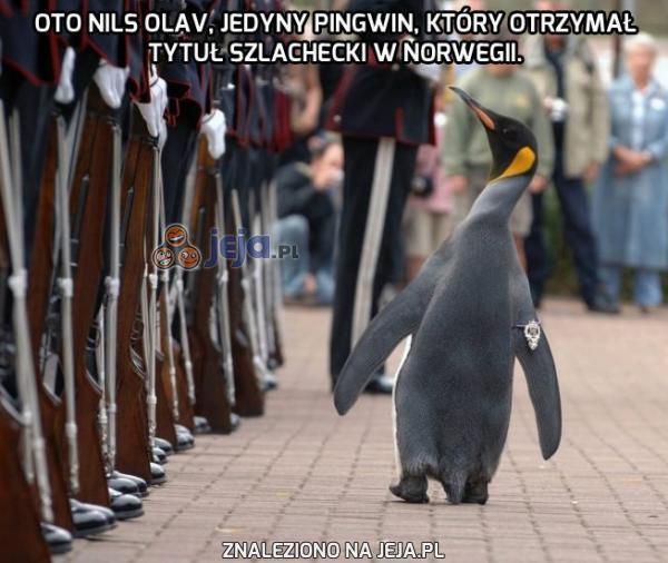 Szlachetny pingwin