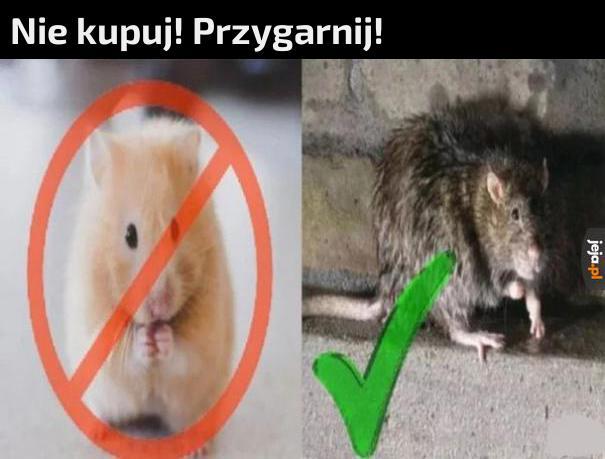 Szczury kanałowe też potrzebują miłości