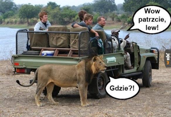 Wow patrzcie patrzcie, lew!
