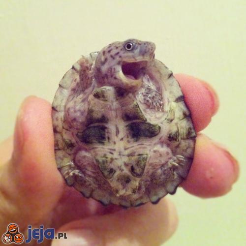 Wesoły żółwik