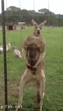 Napakowany rapujący kangur