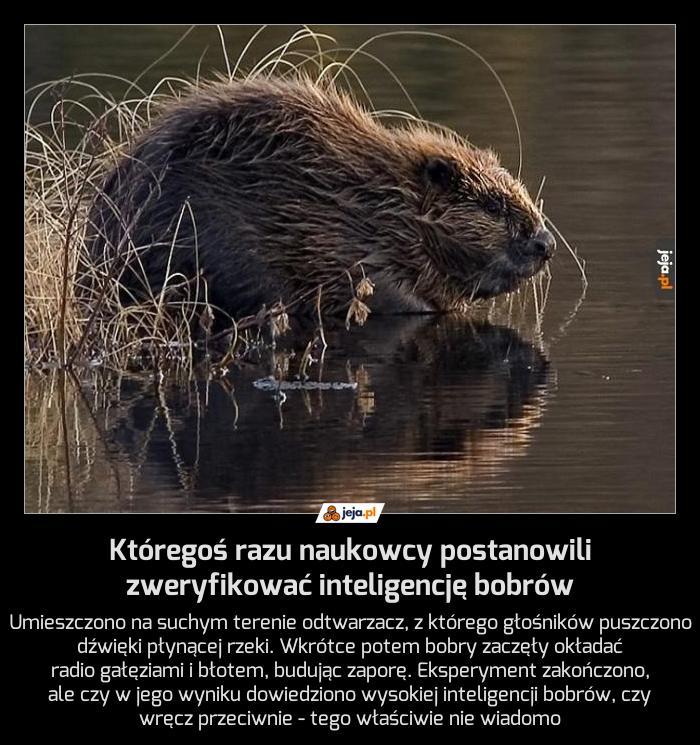 Któregoś razu naukowcy postanowili zweryfikować inteligencję bobrów