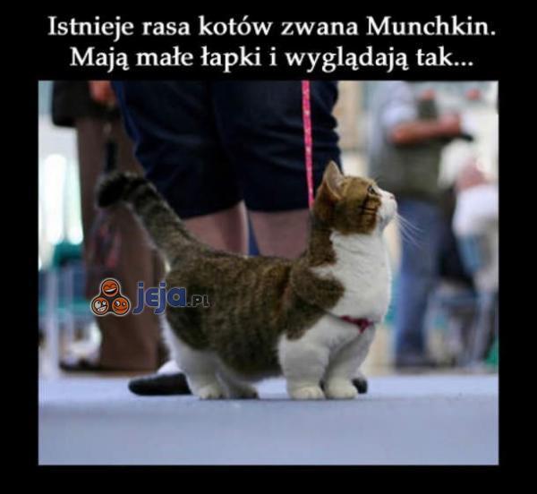 Kotek z krótkimi łapkami