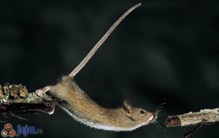 Mysz akrobata
