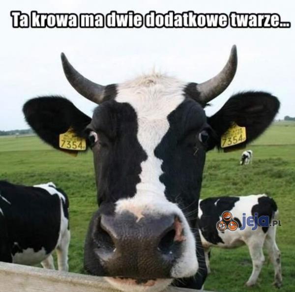 Krowa z dwiema twarzami