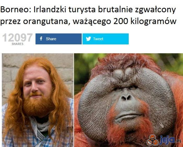 Potężny orangutan