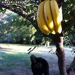 Super banan ratuje swą rodzinę przed cowiekiem maupom