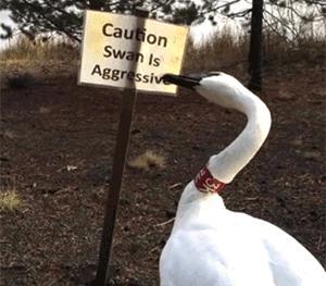 Uwaga! Agresywny łabędź