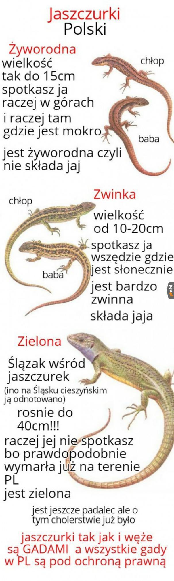 Poznajcie jaszczurki Polski