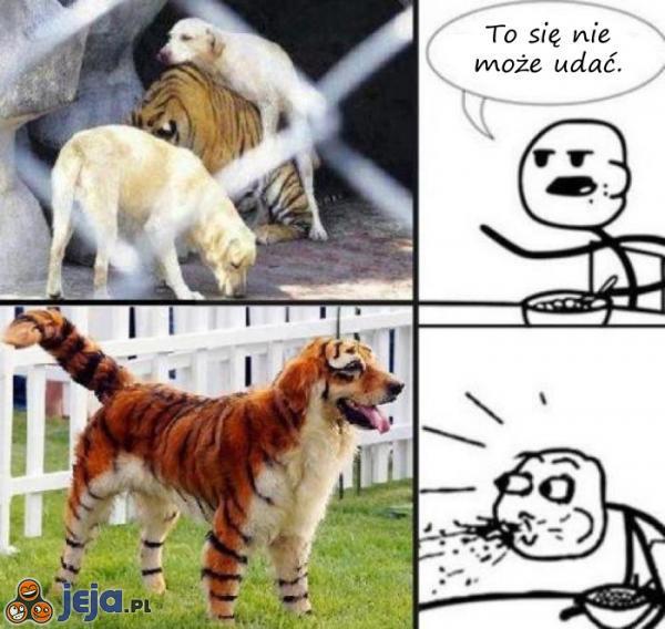 Pies z tygrysem? To się nie może udać