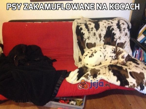 Psy zakamuflowane na kocach