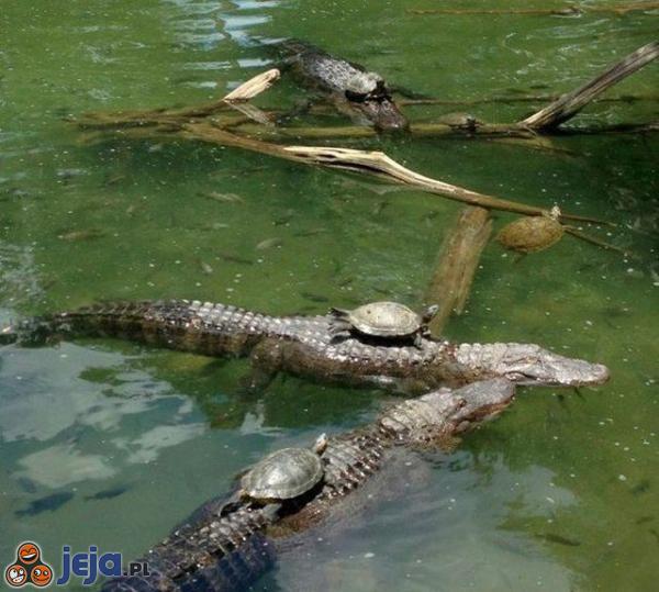 Żółwie wyścigi krokodyli