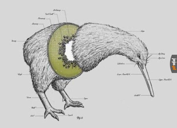 Anatomia kiwi