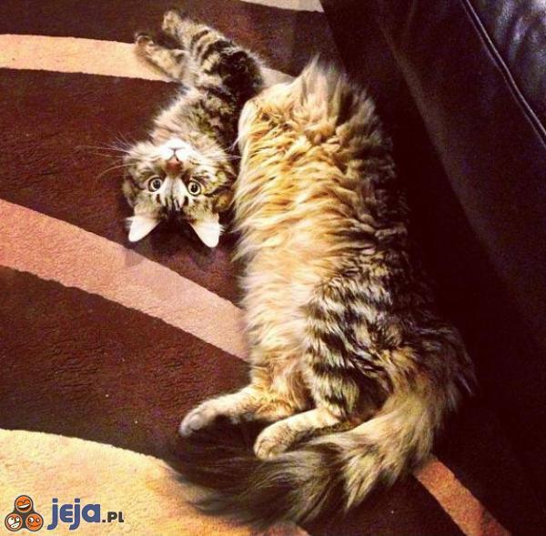 Kot przełamał się w pół?