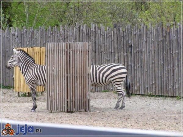 Dłuuuuuuga zebra