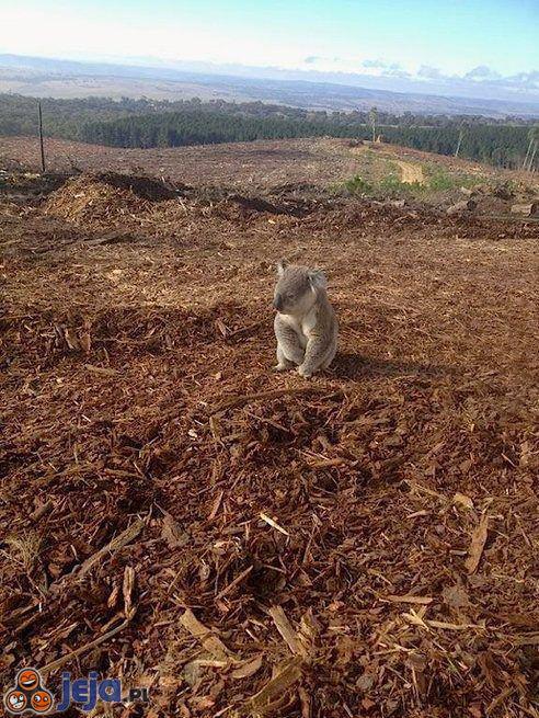 Zdezorientowany koala na miejscu wykarczowanego lasu